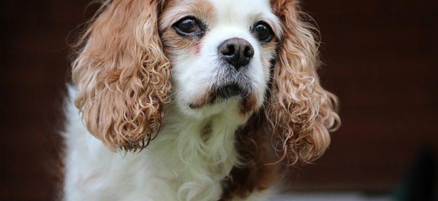 כלבי קינג צארלס קבליר – מה מיוחד בהם
